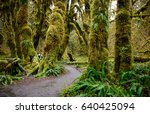 ferns  trail  and forest at hoh ... | Shutterstock . vector #640425094