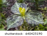 Small photo of Trillium luteum