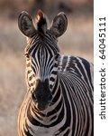 Zebra At Dusk In Low Light...