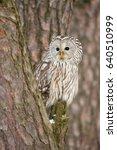 Ural Owl  Strix Uralensis  Is ...