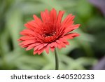 gerbera flower   gerbera daisy | Shutterstock . vector #640520233
