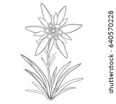 vector outline edelweiss or... | Shutterstock .eps vector #640570228