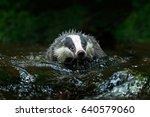 badger in forest creek.... | Shutterstock . vector #640579060