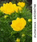 Small photo of Two flowers of adonis vernalis