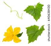 cucumber leaf iwith flower... | Shutterstock . vector #640638430