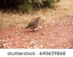 Small photo of Double banded sandgrouse African bird