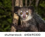 Aye Aye  Nocturnal Lemur Of...