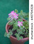 geranium fragrance  pelargonium ... | Shutterstock . vector #640704328