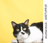 Stock photo black and white tuxedo cat with a mustache yellow background cute cat 640719919