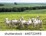 herd of nelore cattle grazing...   Shutterstock . vector #640722493