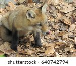 Young Fox Licking Lips With...