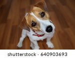 Small photo of Cute puppy Jack Russell Terrier sitting on the brown parquet floor and looking with curious eyes
