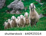 mother sheep with group in the...