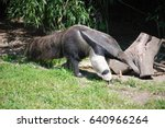 anteater with a long nose and... | Shutterstock . vector #640966264