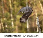 great grey owl or great gray... | Shutterstock . vector #641038624