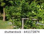 garden lemon.   Shutterstock . vector #641172874