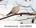 Collared Dove Perched On Branch ...