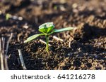 Small photo of A close-up of a sprout of sunflower sprouts lit by the afternoon sun on fertile black soil. Soft defocus in depth. Bokeh background. Concept agro culture.