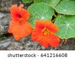 Orange Nasturtiums After A Rain