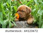 Stock photo dogue de bordeaux puppy smells a flower 64123672