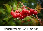 The Bush Of A Viburnum With...