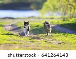 Stock photo pair of cute funny cats fun running around on green grass in sunny summer day 641264143