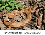 Small photo of Two Osage Copperheads (Agkistrodon contortrix phaeogaster) in Southwestern Missouri