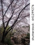 cherry blossoms flowers  korea | Shutterstock . vector #641299276