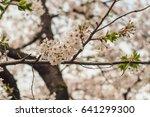 cherry blossoms flowers  korea | Shutterstock . vector #641299300