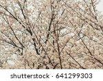 cherry blossoms flowers  korea | Shutterstock . vector #641299303