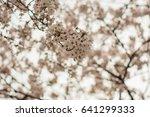 cherry blossoms flowers  korea | Shutterstock . vector #641299333