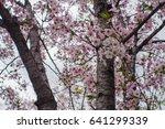 cherry blossoms flowers  korea | Shutterstock . vector #641299339