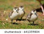 Three Ducklings Running Across...