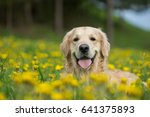 Stock photo golden retriever happy dog 641375893