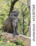 De Brazza's Monkey  Perched On...