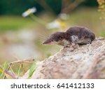 the locally endangered... | Shutterstock . vector #641412133