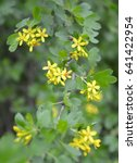 Small photo of Branch of the blossoming currant golden (Ribes aureum Pursh.)