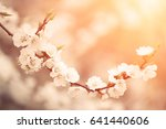 blossoming of the apricot tree... | Shutterstock . vector #641440606