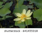 Small photo of American Lotus Blossom
