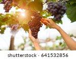 farmer hand woman picking grape ... | Shutterstock . vector #641532856
