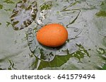 brown egg on water lily leaves... | Shutterstock . vector #641579494