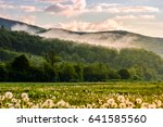 dandelion field in foggy valley. countryside landscape in mountains at sunrise. gorgeous springtime weather - stock photo