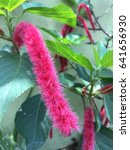 Small photo of Acalypha reptans, Dwarf Chenille, Firetail
