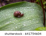 Little Snail With Brown Shell...