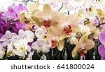 Colorful Moth Orchids Flower Phalaenopsis - Fine Art prints