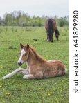 little foal resting on a meadow | Shutterstock . vector #641829280