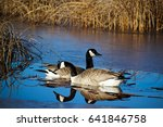 Canada Geese With Their...
