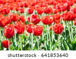 beautiful red colourful tulip... | Shutterstock . vector #641853640
