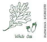 white oak  lepidobalanus or... | Shutterstock .eps vector #641861050