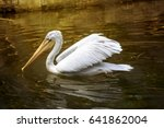 White Pelican Swimming In The...
